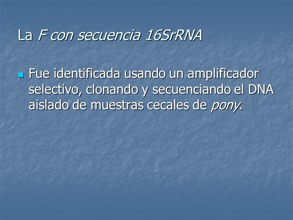 La F con secuencia 16SrRNA Fue identificada usando un amplificador selectivo, clonando y secuenciando el DNA aislado de muestras cecales de pony. Fue
