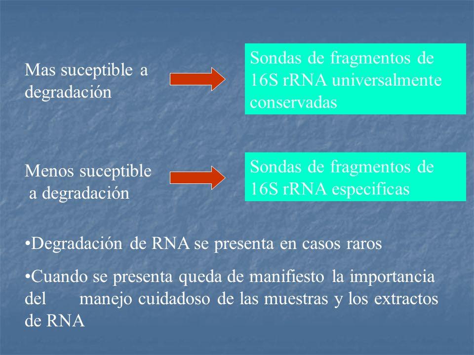 Mas suceptible a degradación Sondas de fragmentos de 16S rRNA universalmente conservadas Menos suceptible a degradación Sondas de fragmentos de 16S rR