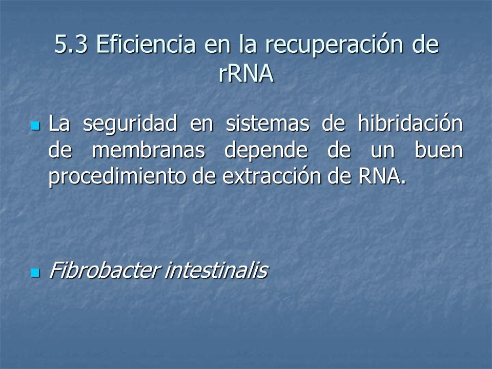 5.3 Eficiencia en la recuperación de rRNA La seguridad en sistemas de hibridación de membranas depende de un buen procedimiento de extracción de RNA.