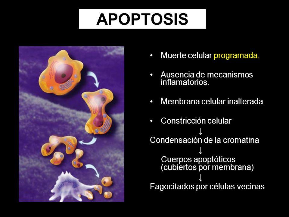 APOPTOSIS Muerte celular programada. Ausencia de mecanismos inflamatorios. Membrana celular inalterada. Constricción celular Condensación de la cromat