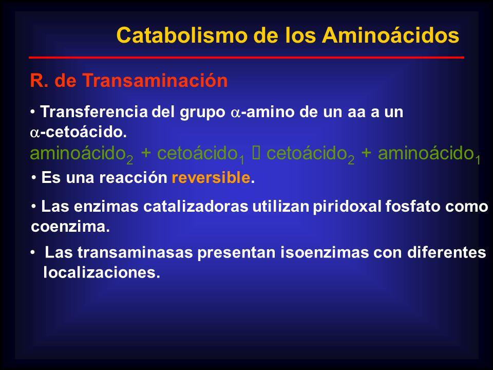 Catabolismo de los Aminoácidos R. de Transaminación Transferencia del grupo -amino de un aa a un -cetoácido. aminoácido 2 + cetoácido 1 cetoácido 2 +