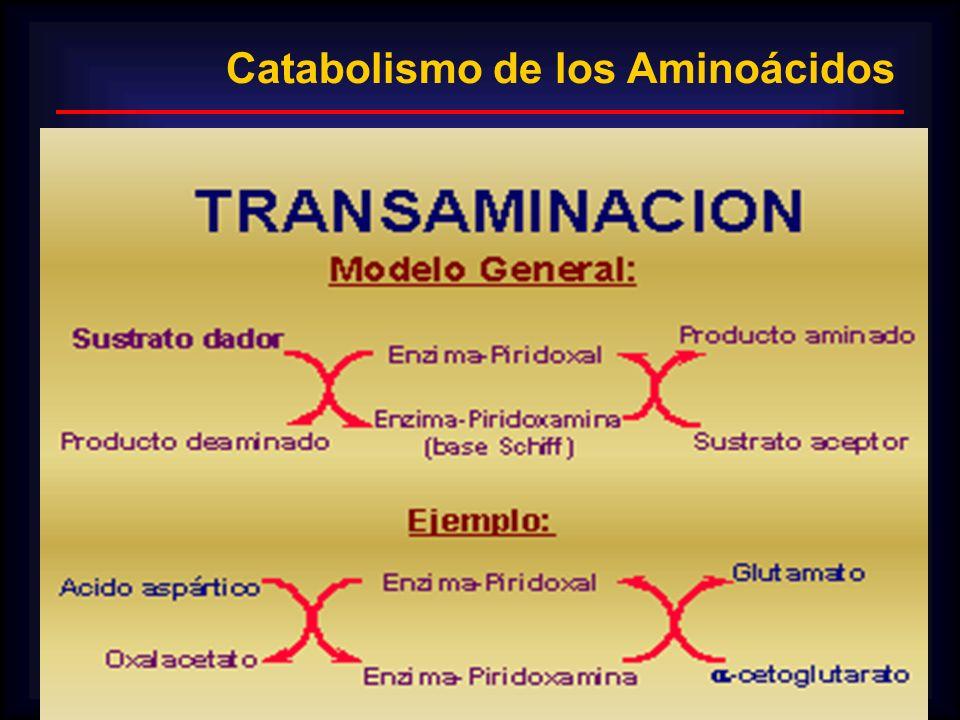 Catabolismo de los Aminoácidos