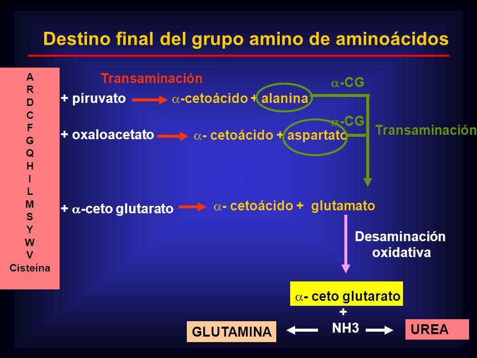 Destino final del grupo amino de aminoácidos - cetoácido + glutamato -cetoácido + alanina - cetoácido + aspartato - ceto glutarato + NH3 UREA A R D C