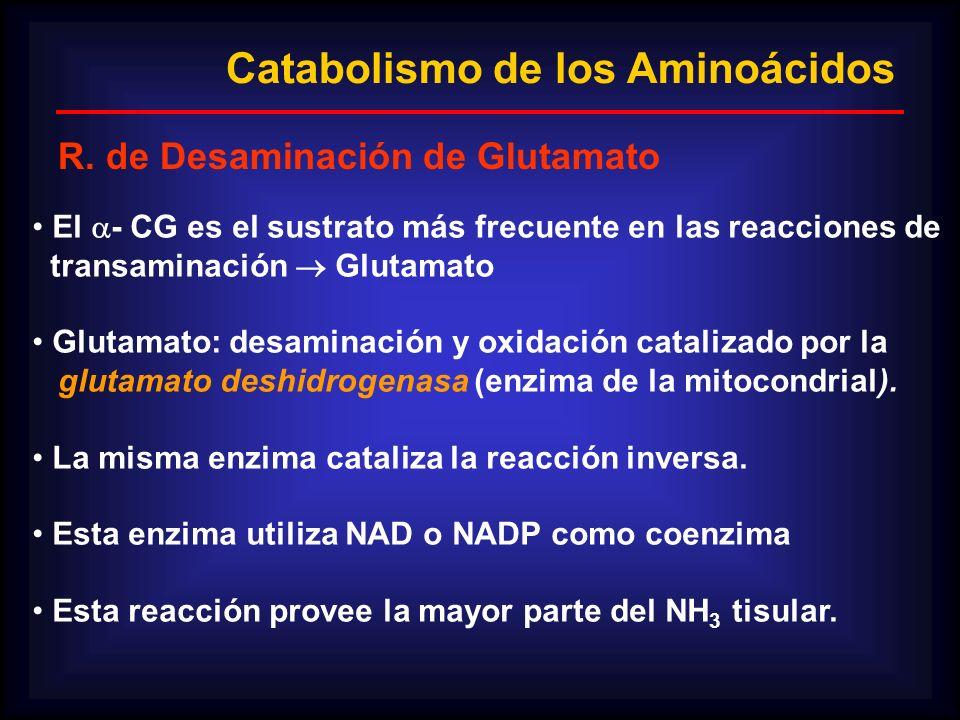 Catabolismo de los Aminoácidos R. de Desaminación de Glutamato El - CG es el sustrato más frecuente en las reacciones de transaminación Glutamato Glut