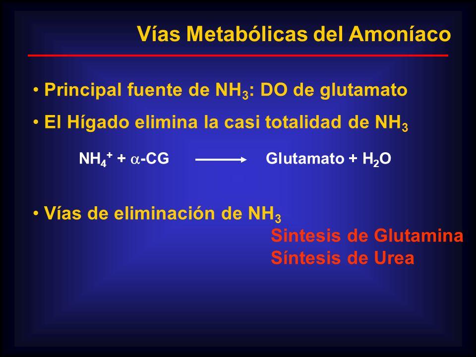 Vías Metabólicas del Amoníaco Principal fuente de NH 3 : DO de glutamato El Hígado elimina la casi totalidad de NH 3 NH 4 + + -CG Glutamato + H 2 O Ví