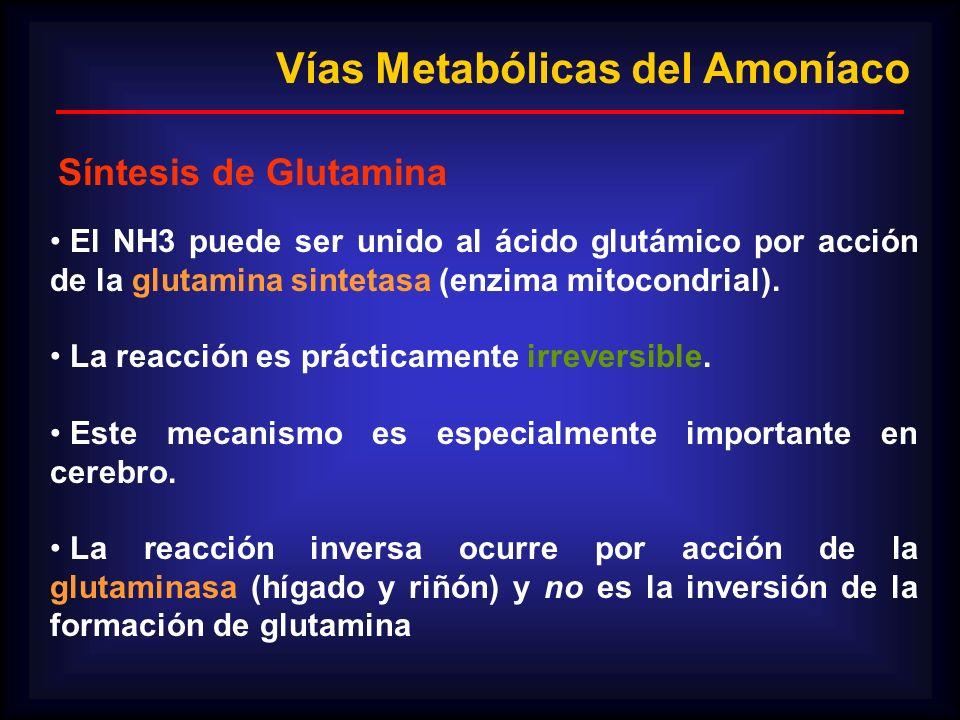 El NH3 puede ser unido al ácido glutámico por acción de la glutamina sintetasa (enzima mitocondrial). La reacción es prácticamente irreversible. Este