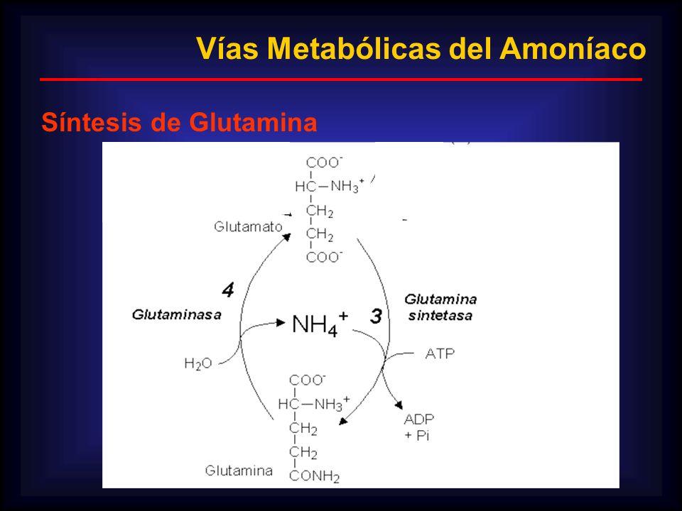 Vías Metabólicas del Amoníaco Síntesis de Glutamina
