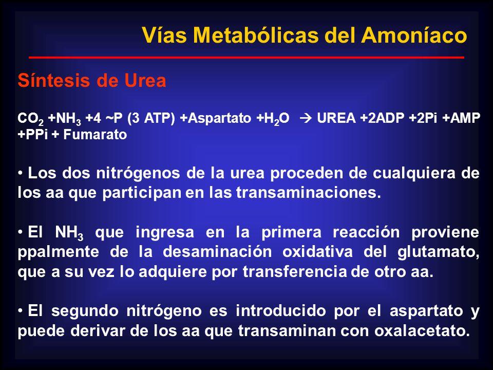 CO 2 +NH 3 +4 ~P (3 ATP) +Aspartato +H 2 O UREA +2ADP +2Pi +AMP +PPi + Fumarato Los dos nitrógenos de la urea proceden de cualquiera de los aa que par