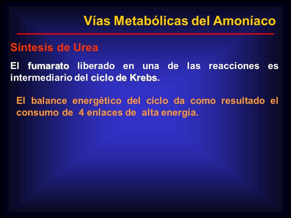 fumarato ciclo de Krebs El fumarato liberado en una de las reacciones es intermediario del ciclo de Krebs. El balance energético del ciclo da como res