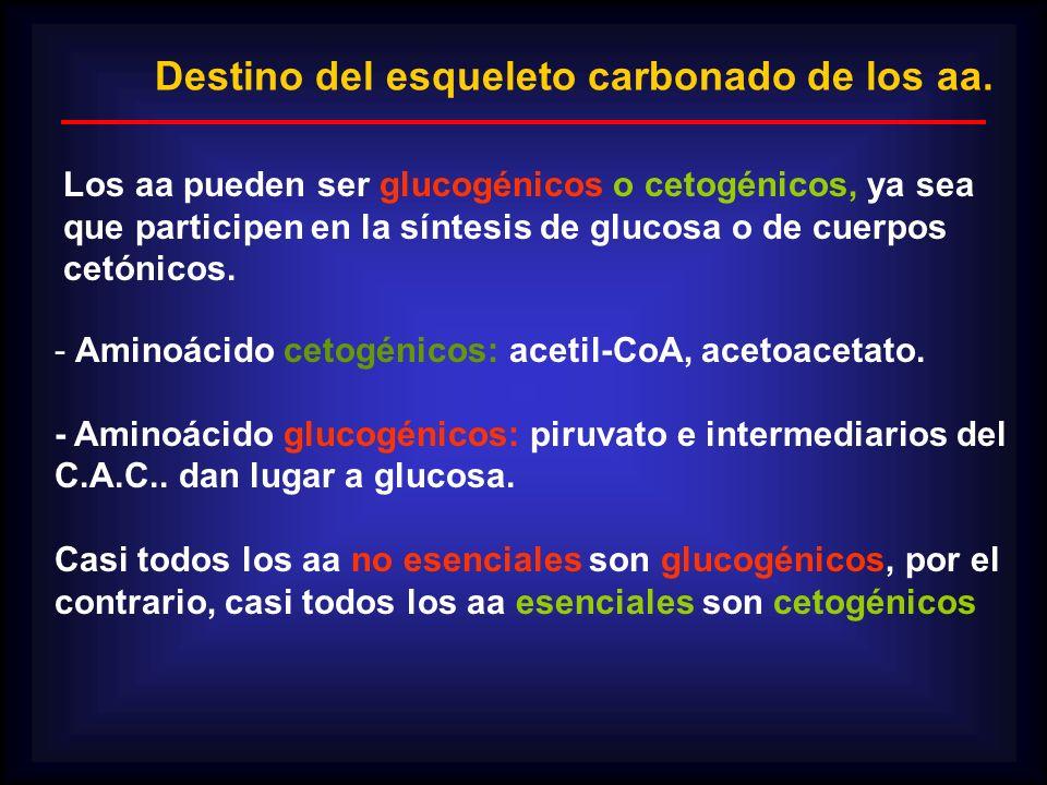 Destino del esqueleto carbonado de los aa. Los aa pueden ser glucogénicos o cetogénicos, ya sea que participen en la síntesis de glucosa o de cuerpos