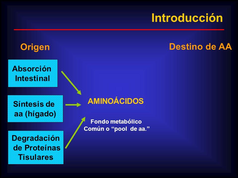 AMINOÁCIDOS Fondo metabólico Común o pool de aa. Origen Destino de AA Absorción Intestinal Degradación de Proteínas Tisulares Síntesis de aa (hígado)