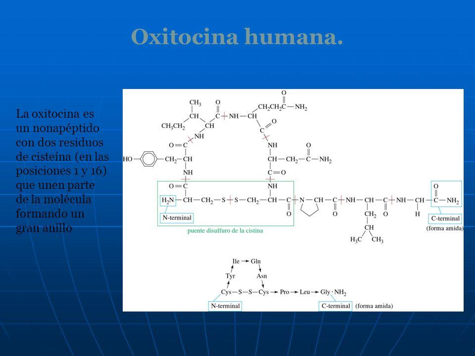 Oxitocina humana. La oxitocina es un nonapéptido con dos residuos de cisteína (en las posiciones 1 y 16) que unen parte de la molécula formando un gra