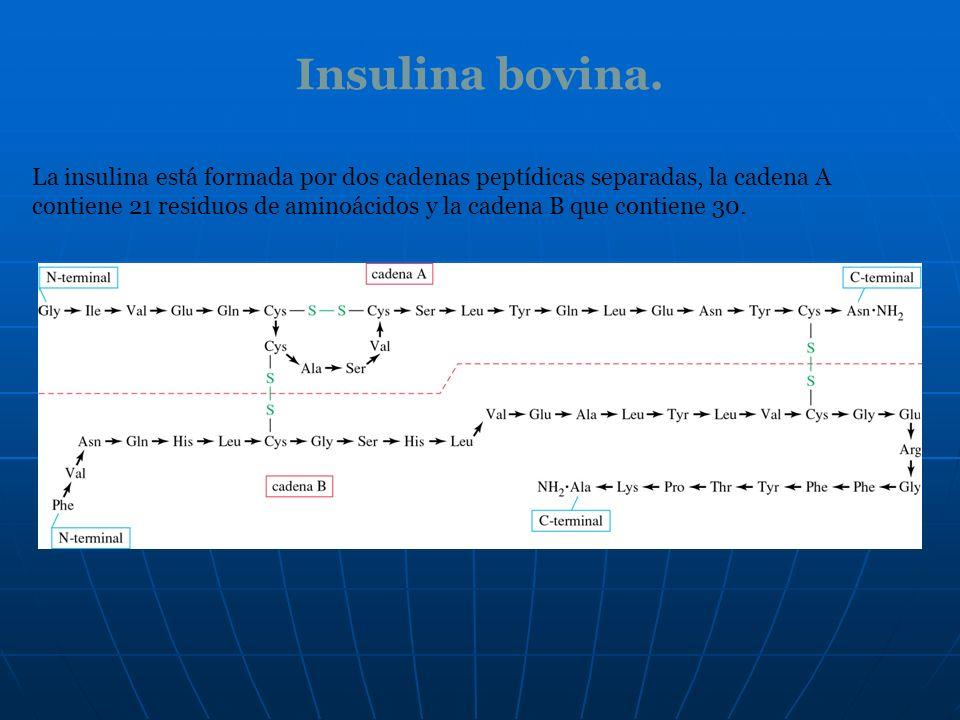 Insulina bovina. La insulina está formada por dos cadenas peptídicas separadas, la cadena A contiene 21 residuos de aminoácidos y la cadena B que cont