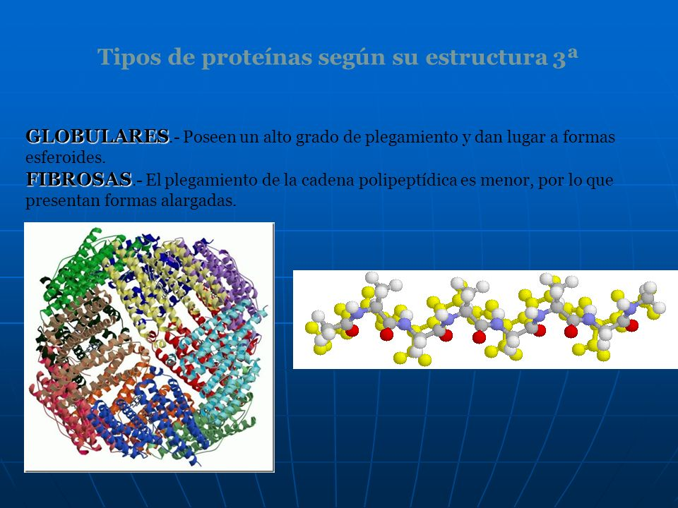 Tipos de proteínas según su estructura 3ª GLOBULARES GLOBULARES.- Poseen un alto grado de plegamiento y dan lugar a formas esferoides. FIBROSAS FIBROS