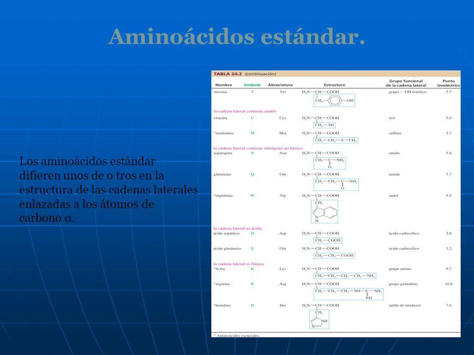 Aminoácidos estándar. Los aminoácidos estándar difieren unos de o tros en la estructura de las cadenas laterales enlazadas a los átomos de carbono α.