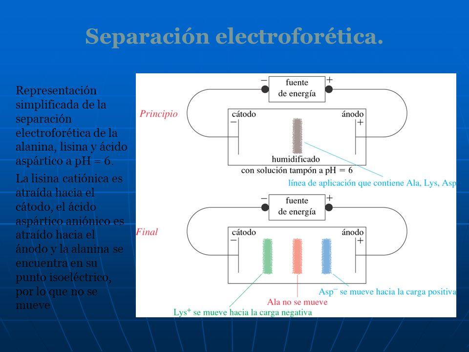 Separación electroforética. Representación simplificada de la separación electroforética de la alanina, lisina y ácido aspártico a pH = 6. La lisina c
