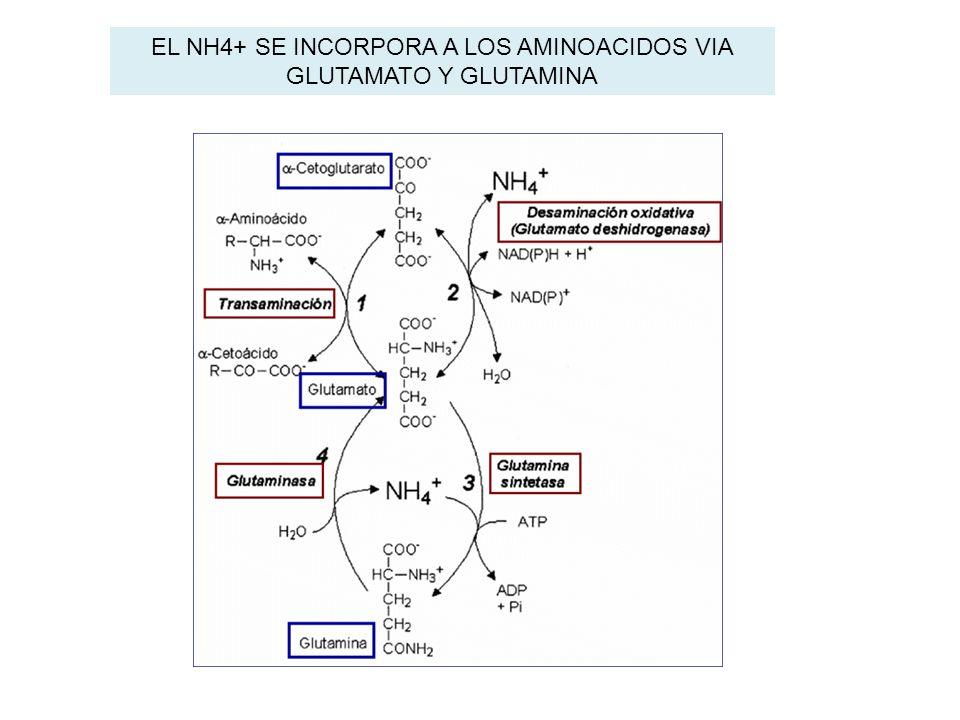 EL NH4+ SE INCORPORA A LOS AMINOACIDOS VIA GLUTAMATO Y GLUTAMINA