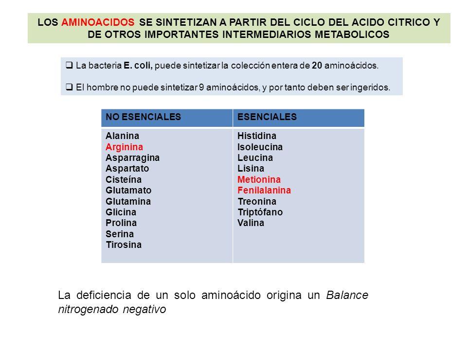 LOS AMINOACIDOS SE SINTETIZAN A PARTIR DEL CICLO DEL ACIDO CITRICO Y DE OTROS IMPORTANTES INTERMEDIARIOS METABOLICOS La bacteria E. coli, puede sintet