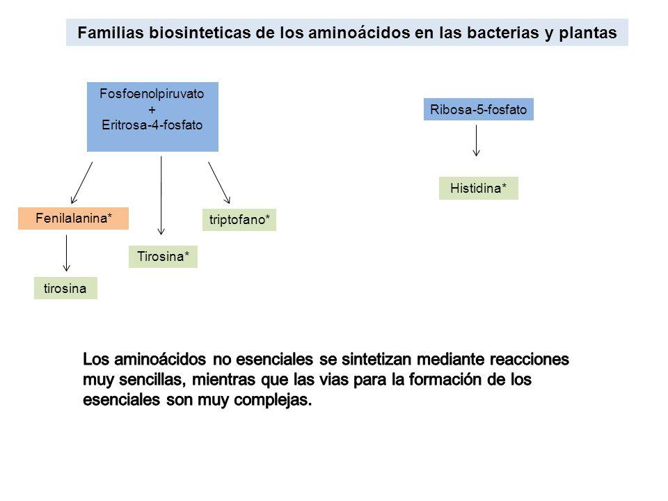 Familias biosinteticas de los aminoácidos en las bacterias y plantas Fosfoenolpiruvato + Eritrosa-4-fosfato Fenilalanina* triptofano* Tirosina* Ribosa