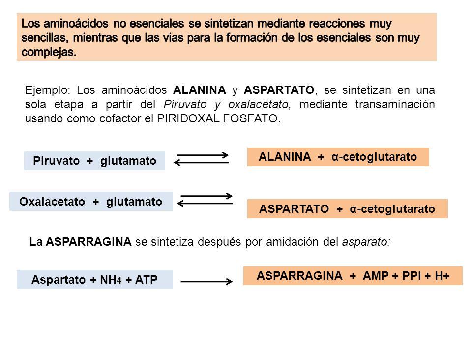 Ejemplo: Los aminoácidos ALANINA y ASPARTATO, se sintetizan en una sola etapa a partir del Piruvato y oxalacetato, mediante transaminación usando como