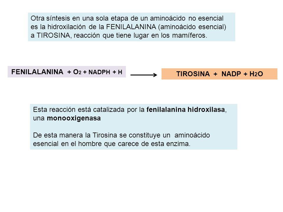 Otra síntesis en una sola etapa de un aminoácido no esencial es la hidroxilación de la FENILALANINA (aminoácido esencial) a TIROSINA, reacción que tie
