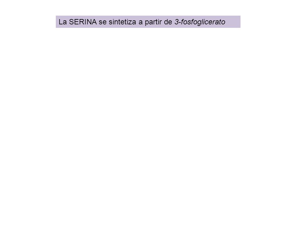 La SERINA se sintetiza a partir de 3-fosfoglicerato