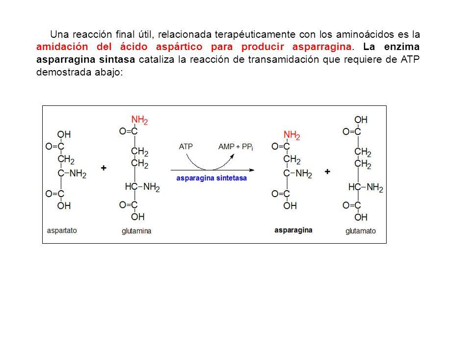 Una reacción final útil, relacionada terapéuticamente con los aminoácidos es la amidación del ácido aspártico para producir asparragina. La enzima asp