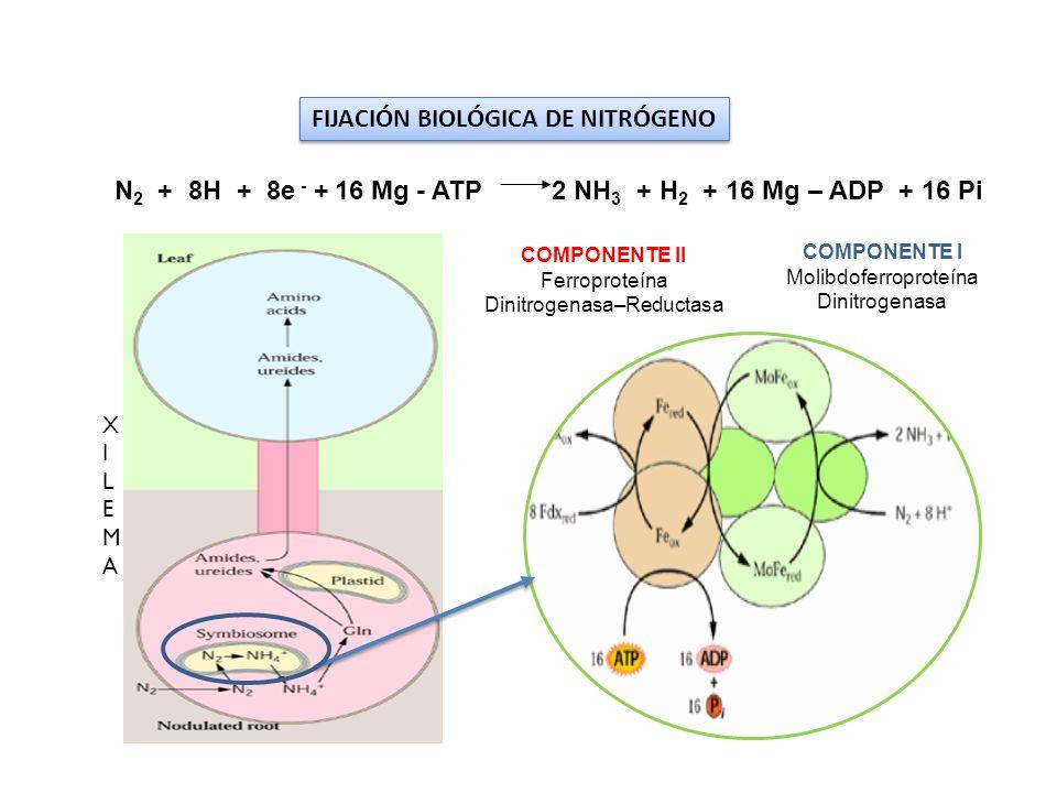 FIJACIÓN BIOLÓGICA DE NITRÓGENO COMPONENTE I Molibdoferroproteína Dinitrogenasa COMPONENTE II Ferroproteína Dinitrogenasa–Reductasa XILEMAXILEMA N 2 +