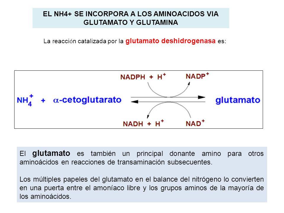 EL NH4+ SE INCORPORA A LOS AMINOACIDOS VIA GLUTAMATO Y GLUTAMINA La reacci ó n catalizada por la glutamato deshidrogenasa es: El glutamato es también