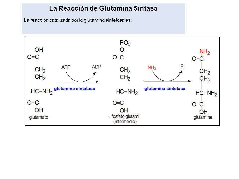 La Reacci ó n de Glutamina Sintasa La reacci ó n catalizada por la glutamina sintetasa es: