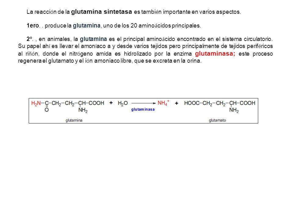 La reacci ó n de la glutamina sintetasa es tambi é n importante en varios aspectos. 1ero.. produce la glutamina, uno de los 20 amino á cidos principal