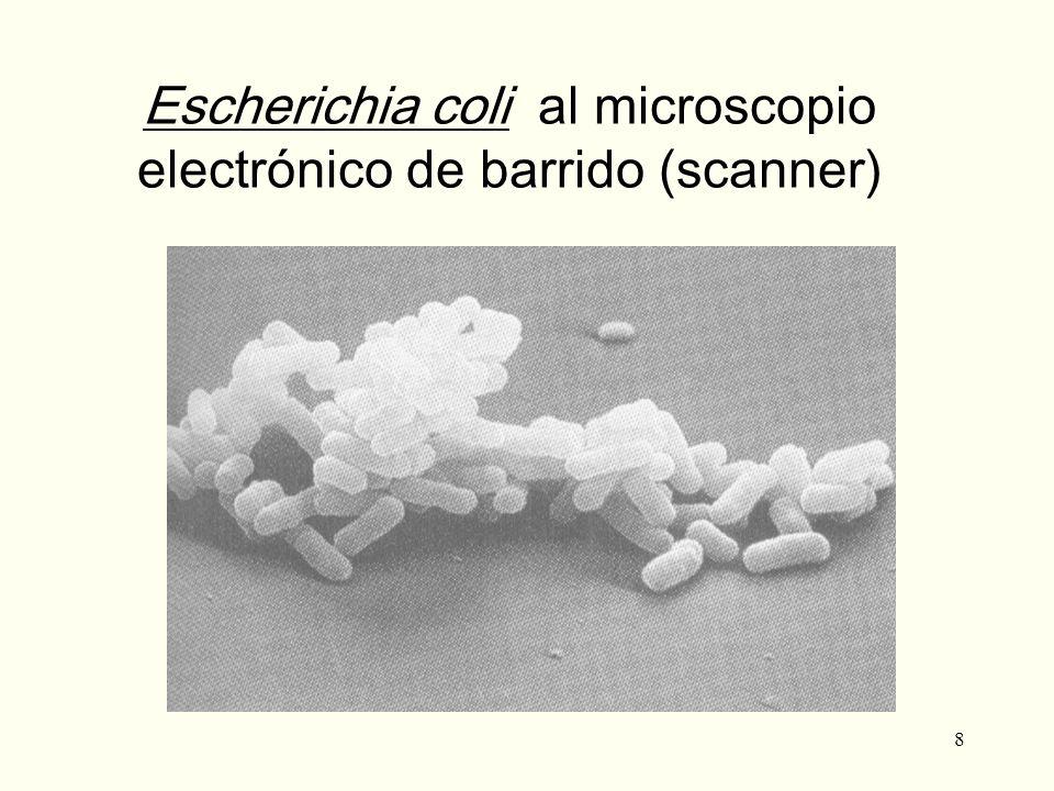 8 Escherichia coli al microscopio electrónico de barrido (scanner)