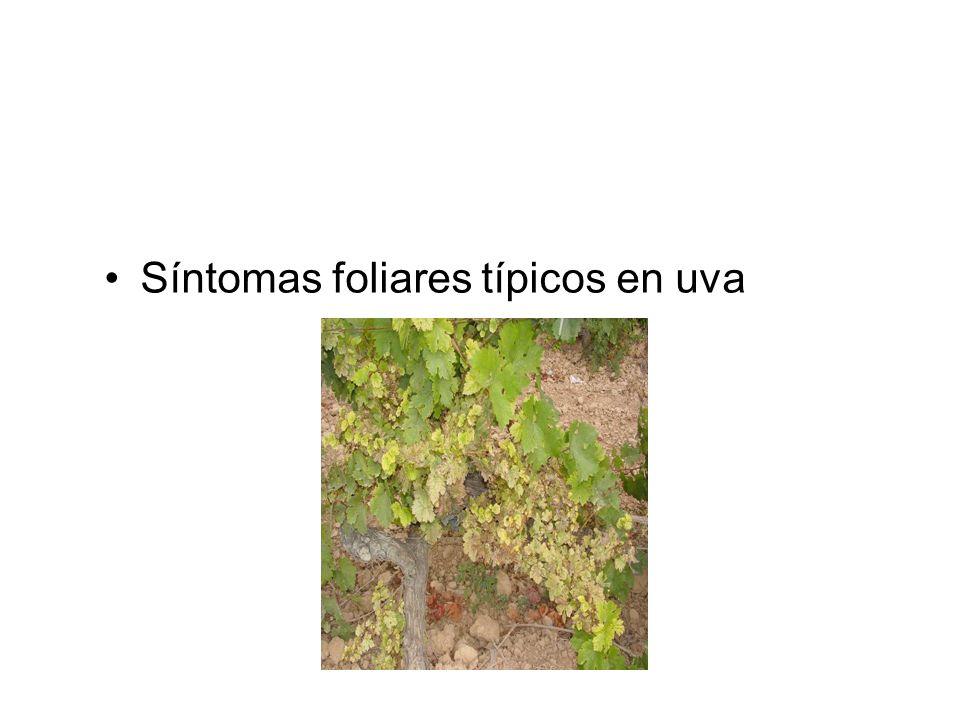 Síntomas foliares típicos en uva