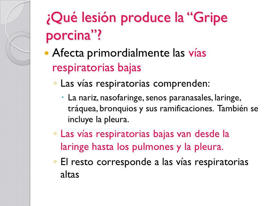 ¿Qué lesión produce la Gripe porcina? Afecta primordialmente las vías respiratorias bajas Las vías respiratorias comprenden: La nariz, nasofaringe, se