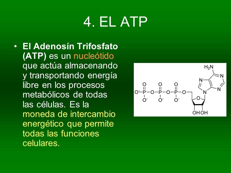 4. EL ATP El Adenosín Trifosfato (ATP) es un nucleótido que actúa almacenando y transportando energía libre en los procesos metabólicos de todas las c
