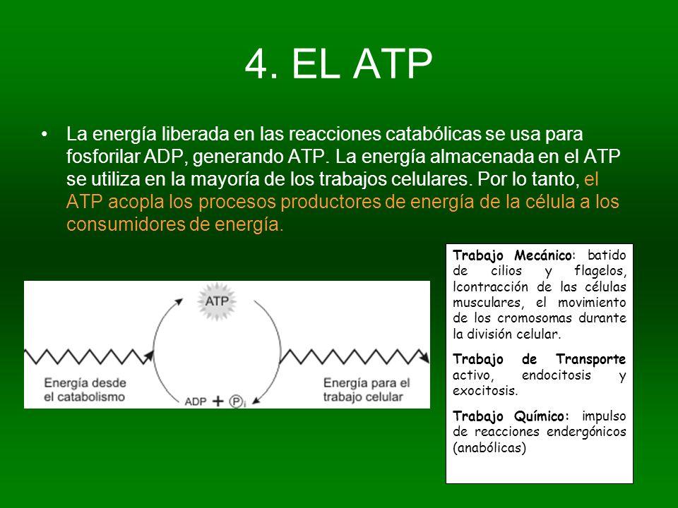 4. EL ATP La energía liberada en las reacciones catabólicas se usa para fosforilar ADP, generando ATP. La energía almacenada en el ATP se utiliza en l