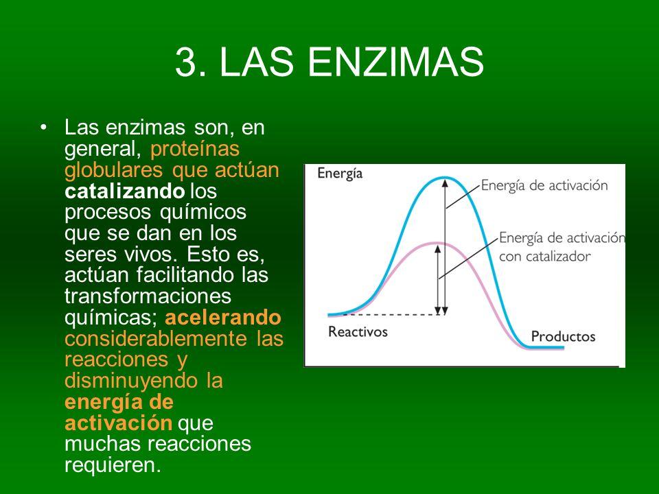 3. LAS ENZIMAS Las enzimas son, en general, proteínas globulares que actúan catalizando los procesos químicos que se dan en los seres vivos. Esto es,
