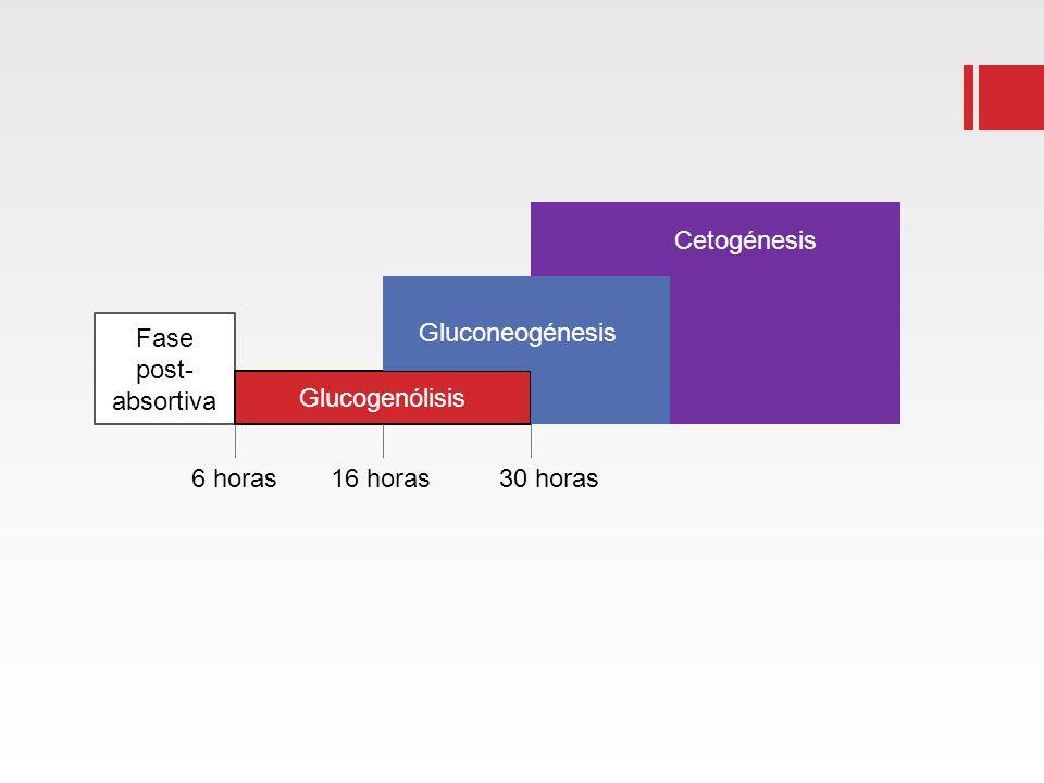 Fase post- absortiva Glucogenólisis Gluconeogénesis Cetogénesis 6 horas 16 horas 30 horas