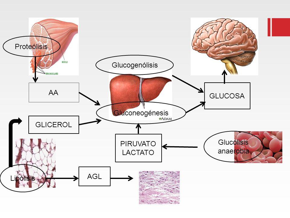 AA GLICEROL AGL PIRUVATO LACTATO GLUCOSA Proteólisis Lipólisis Glucólisis anaerobia Glucogenólisis Gluconeogénesis