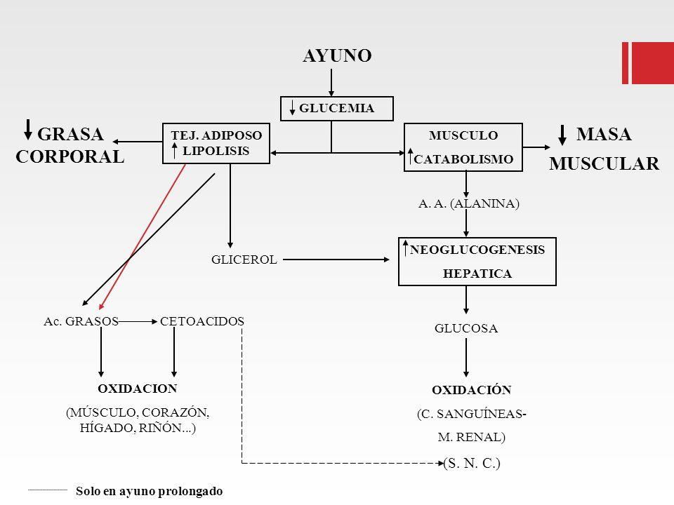 AYUNO GRASA CORPORAL TEJ. ADIPOSO LIPOLISIS GLUCEMIA MUSCULO CATABOLISMO MASA MUSCULAR GLICEROL A. A. (ALANINA) NEOGLUCOGENESIS HEPATICA Ac. GRASOSCET