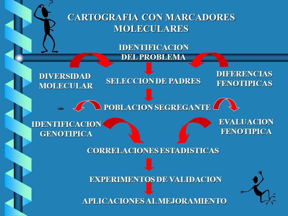 CARTOGRAFIA CON MARCADORES MOLECULARES IDENTIFICACION DEL PROBLEMA SELECCION DE PADRES POBLACION SEGREGANTE CORRELACIONES ESTADISTICAS EXPERIMENTOS DE