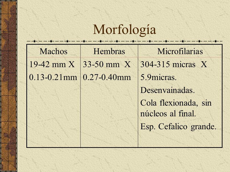 Morfología MachosHembrasMicrofilarias 19-42 mm X 0.13-0.21mm 33-50 mm X 0.27-0.40mm 304-315 micras X 5.9micras. Desenvainadas. Cola flexionada, sin nú