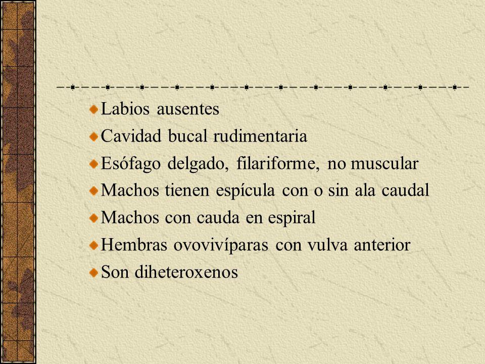 Labios ausentes Cavidad bucal rudimentaria Esófago delgado, filariforme, no muscular Machos tienen espícula con o sin ala caudal Machos con cauda en e