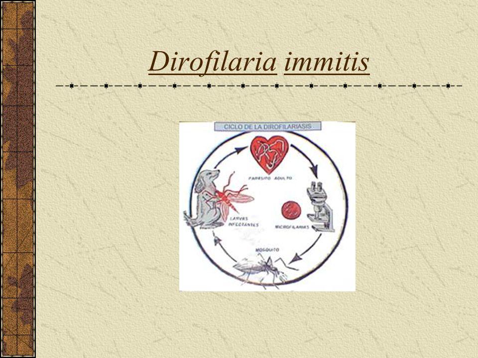 Dirofilaria immitis