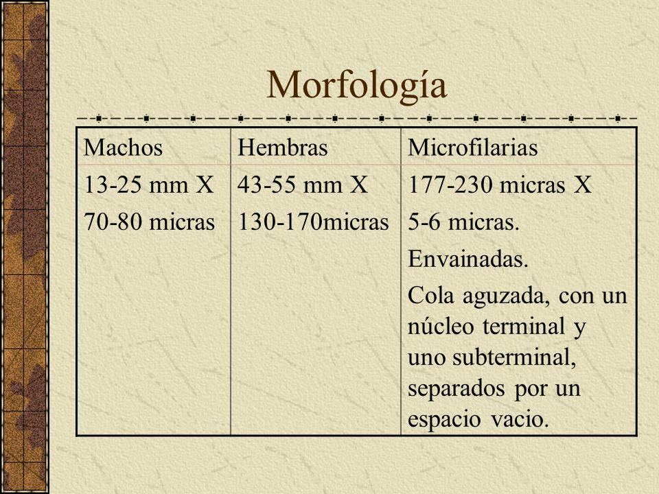 Morfología MachosHembrasMicrofilarias 13-25 mm X 70-80 micras 43-55 mm X 130-170micras 177-230 micras X 5-6 micras. Envainadas. Cola aguzada, con un n