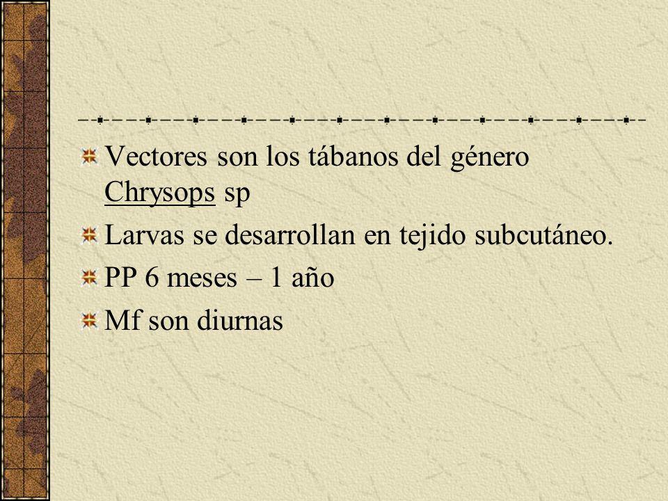 Vectores son los tábanos del género Chrysops sp Larvas se desarrollan en tejido subcutáneo. PP 6 meses – 1 año Mf son diurnas