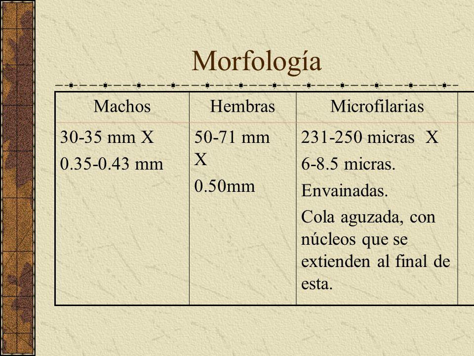 Morfología MachosHembrasMicrofilarias 30-35 mm X 0.35-0.43 mm 50-71 mm X 0.50mm 231-250 micras X 6-8.5 micras. Envainadas. Cola aguzada, con núcleos q