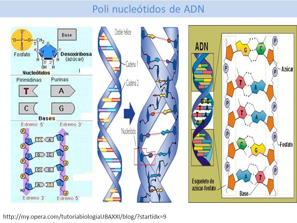 Poli nucleótidos de ADN http://my.opera.com/tutoriabiologiaUBAXXI/blog/?startidx=9