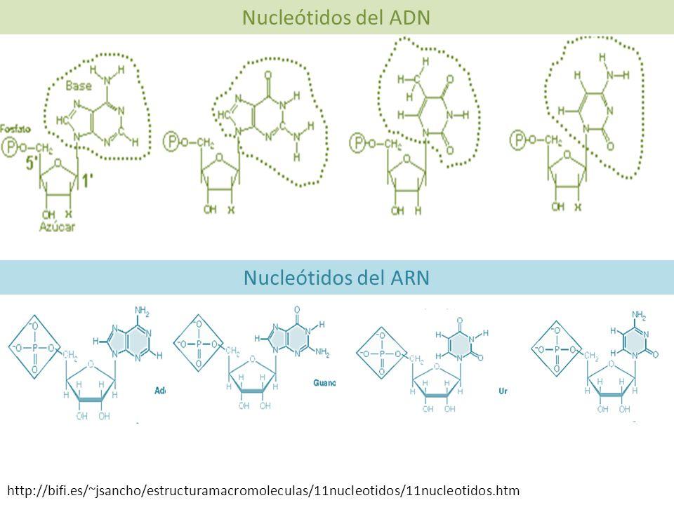 Nucleótidos del ADN Nucleótidos del ARN http://bifi.es/~jsancho/estructuramacromoleculas/11nucleotidos/11nucleotidos.htm