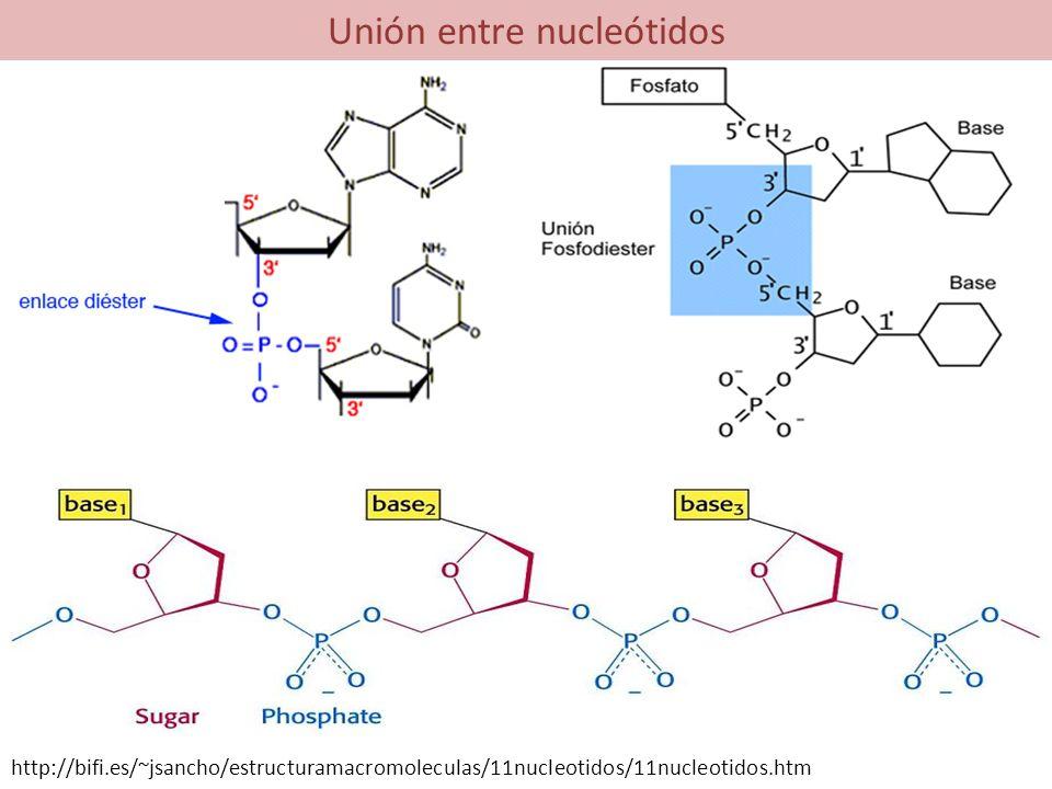 Unión entre nucleótidos http://bifi.es/~jsancho/estructuramacromoleculas/11nucleotidos/11nucleotidos.htm